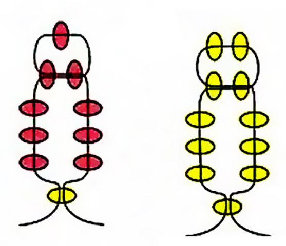 Гострий кінчик пелюстки
