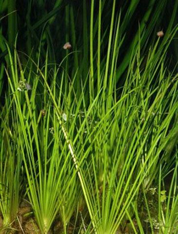 Мілководні рослини