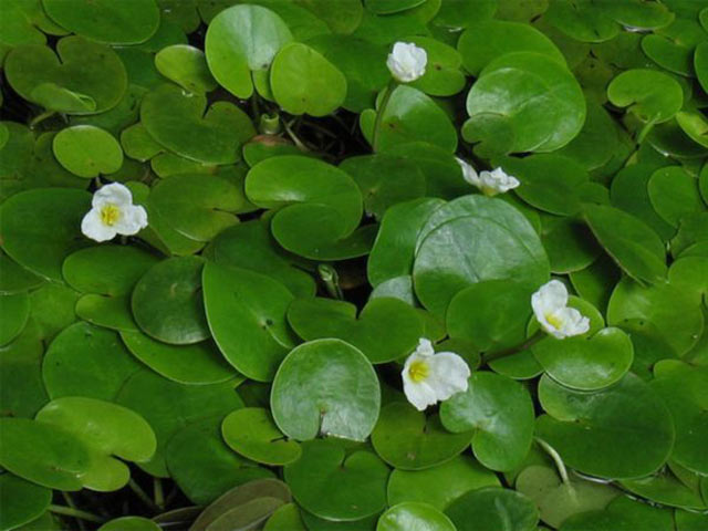 Плаваючі рослини