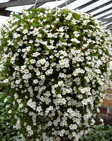 Бакопа (Sutera)- одно из новых растений для подвесных корзин и балконных ящиков.  Его нежные цветы обильно покрывают...