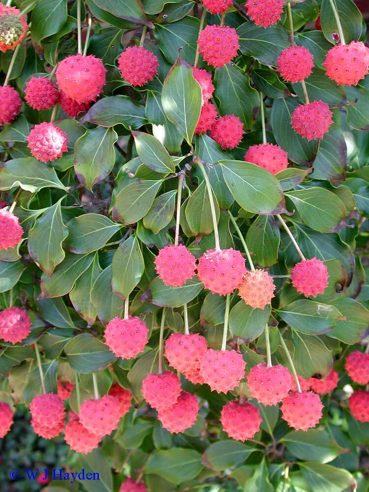 Кизил японский цветочный - Cornus kousa
