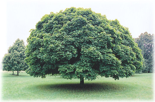 Шаровой клен - Acer platanoides «Globosum»