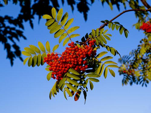 Рябина - Sorbus Americana
