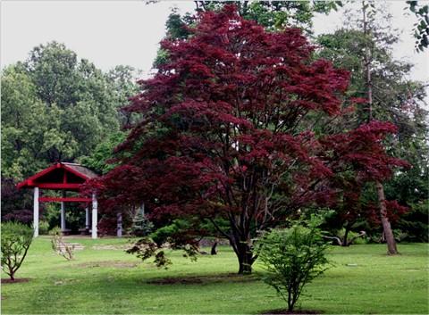 Клен веерный - Acer palmatum «Atropurpureum»