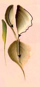 Рисование листиков